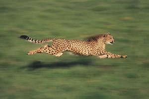 Cheetah Running by DLILLC