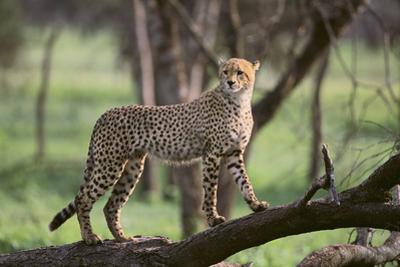 Cheetah by DLILLC