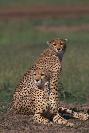 Cheetahs Sitting in Savannah by DLILLC