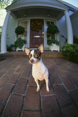 Chihuahua Dog by DLILLC