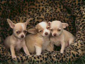 Chihuahua Puppies by DLILLC