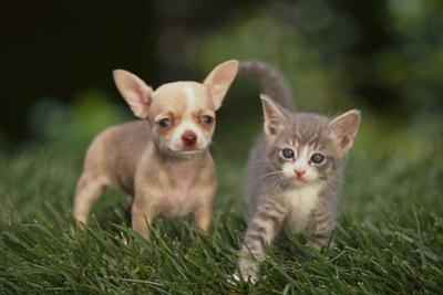 Chihuahua Puppy and a Kitten by DLILLC