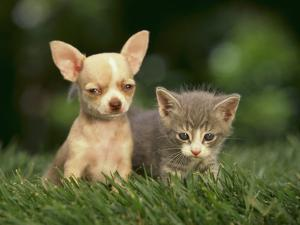Chihuahua Puppy and Kitten by DLILLC