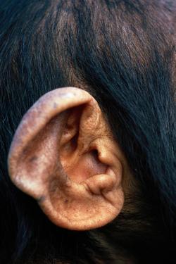 Chimpanzee Ear by DLILLC