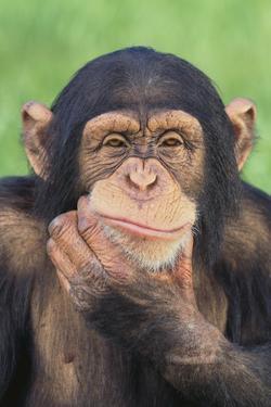 Chimpanzee Smiling by DLILLC