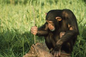 Chimpanzee Using Twig to Capture Termites by DLILLC