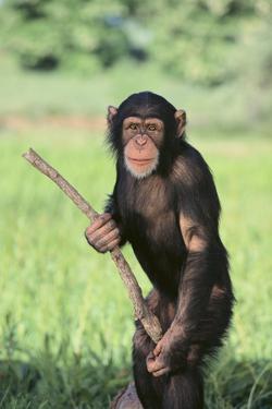 Chimpanzee with Stick by DLILLC