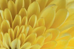 Chrysanthemum by DLILLC