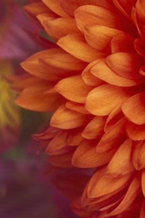 Chrysanthemum by DLILLC