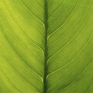 Close-Up of Peace Lily Leaf by DLILLC