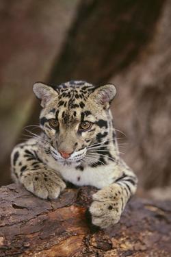 Clouded Leopard Cub by DLILLC