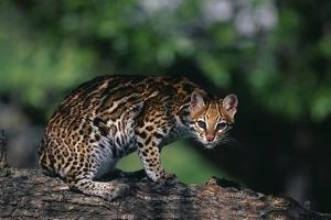 Clouded Leopard on Tree Branch by DLILLC
