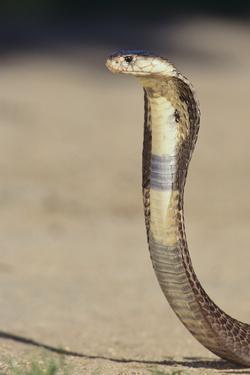 Cobra by DLILLC