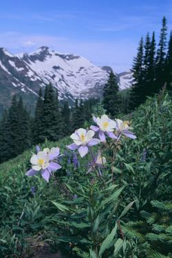 Columbine Flowers by DLILLC