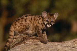 Cougar Cub Sitting on Log by DLILLC