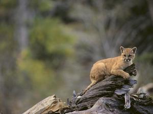 Cougar Cub by DLILLC