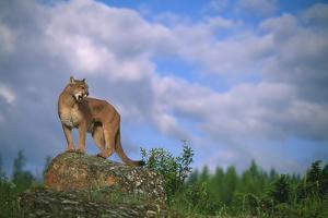 Cougar Growling on Rock by DLILLC