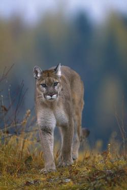 Cougar in Autumn by DLILLC
