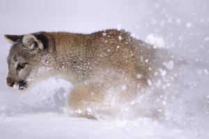 Cougar Running in the Snow by DLILLC