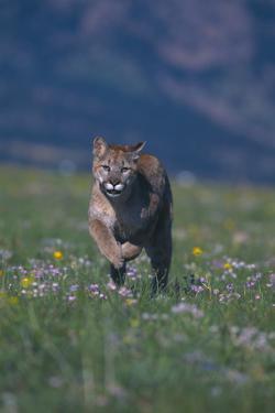 Cougar Running through Meadow by DLILLC