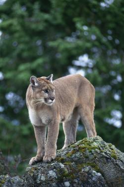 Cougar Standing on Rock by DLILLC