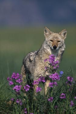 Coyote in Field with Wildflowers by DLILLC