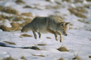 Coyote Leaping on Vole in Snow by DLILLC