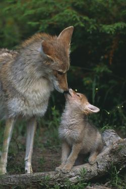Coyote Mother and Pup by DLILLC