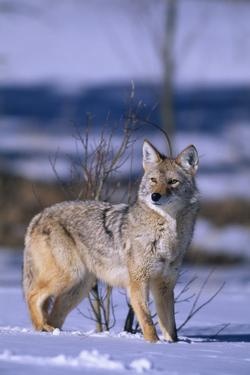 Coyote Walking in Snow by DLILLC