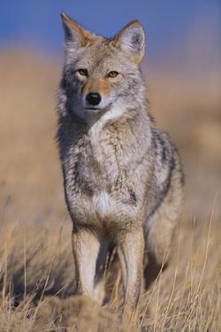 Coyote by DLILLC