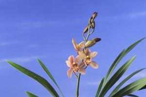 Cymbidium Orchid by DLILLC