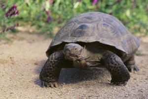 Desert Tortoise by DLILLC