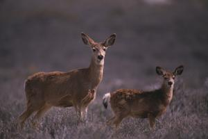 Doe and Fawn in Field by DLILLC