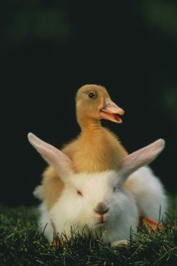 Duckling Sitting on Rabbit by DLILLC