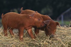 Duroc Piglets by DLILLC