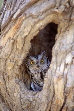 Eastern Screech-Owl in Tree by DLILLC