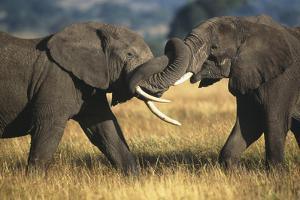 Elephants Fighting by DLILLC