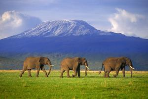 Elephants Walking Single File by DLILLC