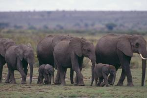 Elephants by DLILLC