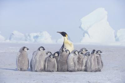 Emperor Penguin Guarding Young