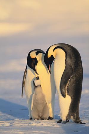 Emperor Penguin Parents with Baby