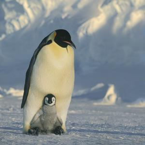 Emperor Penguin with Chick on Feet by DLILLC