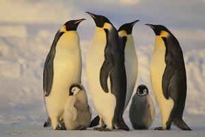 Emperor Penguins and Offspring by DLILLC