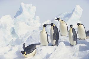 Emperor Penguins Sliding Downhill by DLILLC