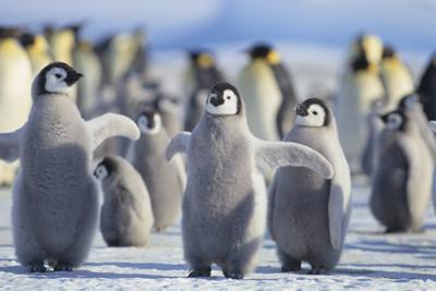 Emperor Penguins with Wings Outstretched