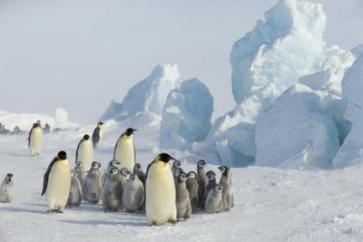 Emperor Penguins with Young by DLILLC