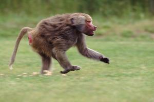 Excited Hamadryas Baboon by DLILLC