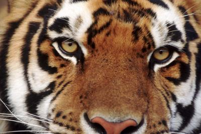 Facing a Tiger by DLILLC