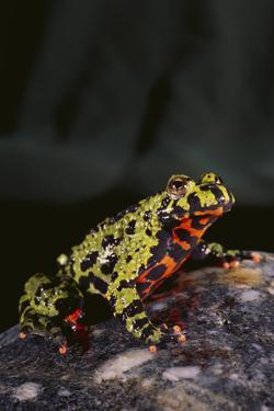 Fire-Bellied Toad by DLILLC