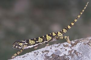 Flap-Necked Chameleon by DLILLC